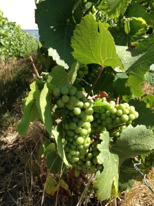 Grapes in Champagne
